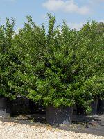 Ligustrum 'Recurvifolium'