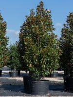 Magnolia 'Bracken Brown Beauty'